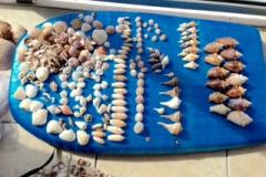 Siesta Shells